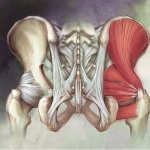 Pelvic Ligaments and Intrinsic Muscles of the Hip