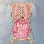 Organs of the Torso