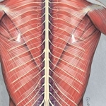 Muscles of the Back and Spinal Cord