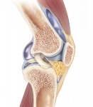 Cross-Section of the Knee