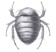 Afgan Cockroach