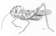 Crested Grasshopper