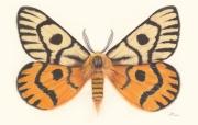Hemileuca-nuttalli