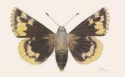 Megathymus-yuccae-ssp.-reubeni